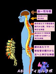 脊柱管 神経 脳